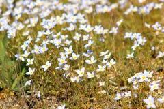 Bluets blanc en fleur Photo libre de droits