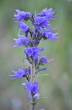 Blueweed echium vulgare Royalty Free Stock Images