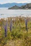 Blueweed s'élevant sur la côte de Kaikoura Photo stock