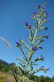 Blueweed Stock Photography