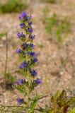 Blueweed / Viper's Bugloss Royalty Free Stock Photos