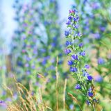 Blueweed Viper's Bugloss wild flower in springtime Stock Photography