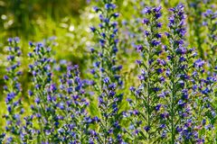Blueweedbloemen in een zonnige weide Stock Foto's
