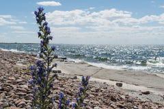 Blueweedblomman vid en lägenhet vaggar kusten Royaltyfri Fotografi