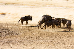 Bluewildebeest mating in the Kgalagadi. Herd of bluewildebeest in the Kgalagadi Royalty Free Stock Images