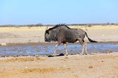Bluewildebeest przy waterhole Fotografia Stock