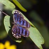 bluewing的蝴蝶ethusa墨西哥myscelia 库存照片