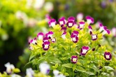Bluewings Torenia naturlig skönhet och färgrikt Fotografering för Bildbyråer