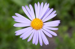 Bluish Aster, Aster tongolensis in bloom royalty free stock image