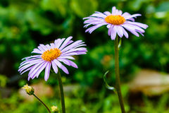 Bluish Aster  tongolensis , family Compositae. two flowers. purple Royalty Free Stock Photography
