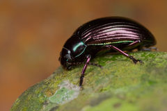 Bluish black beetle Royalty Free Stock Photo