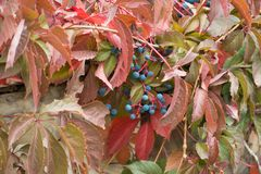 Bluish black berries of Parthenocissus quinquefolia. In autumn Royalty Free Stock Photo