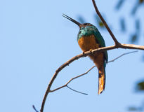 A Bluish-fronted Jacamar Royalty Free Stock Photos