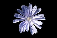 Bluish isolated flower. Bluish isolated flower on the black background Royalty Free Stock Photos