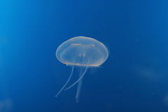 Bluish jellyfish Stock Photos