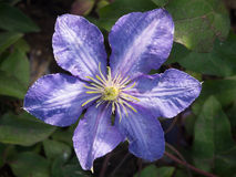 Bluish purple clematis Stock Photo