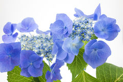 Bluish purple hydrangea Stock Images