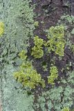 Bluish and yellowish green lichen on bark of horse chestnut. Tree Royalty Free Stock Photos