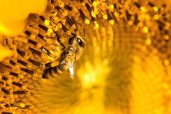 Blumblebee en un girasol Fotos de archivo libres de regalías