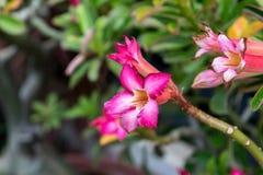 Blume (Adenium-obesum oder Wüstenrose) Lizenzfreie Stockbilder