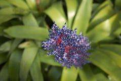 Blume Aechmea Blurain Stockfoto