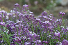 Blume Alyssum-Rosa-Königin Lizenzfreie Stockbilder
