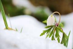 Blume Anemona Nemorosa lizenzfreie stockfotos