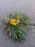 Blume auf dem Asphalt Stockfotografie