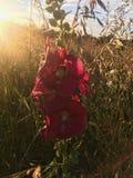 Blume auf dem Gebiet Lizenzfreies Stockbild