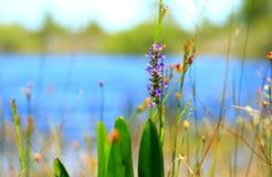 Blume auf dem See Stockfoto