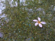 Blume auf dem Teich Lizenzfreie Stockfotos