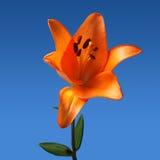 Blume auf einem blauen Hintergrund Stockbild