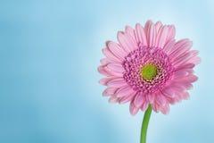 Blume auf einem blauen Hintergrund Stockfoto