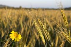 Blume auf einem Weizengebiet bei Sonnenuntergang Lizenzfreie Stockfotografie