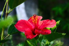 Blume auf Flores, Azoren, Portugal lizenzfreies stockfoto