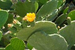 Blume auf Kaktusfeige Stockfoto