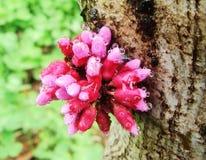Blume, Bauhinia Stockbild