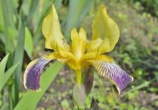 Blume bebauter Iris 14 Stockbilder