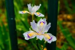 Blume-beständiges Kraut der Iris Lizenzfreies Stockfoto