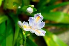 Blume-beständiges Kraut der Iris Lizenzfreie Stockbilder