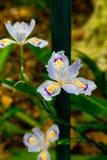 Blume-beständiges Kraut der Iris Stockfotos