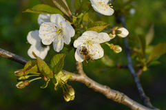 Blume, Biene, Insekt, Lizenzfreie Stockfotografie