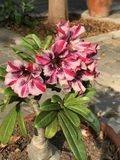 Blume bunte Adenium obesum oder Impalalilie oder Spottazalee oder des Wüstenrose- oder Sabi-Sternes Stockfotos