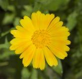 Blume Calendula Lizenzfreies Stockfoto
