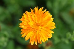 Blume - Calendula Botanisch, mit Blumen lizenzfreies stockbild