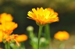 Blume - Calendula Botanisch, mit Blumen stockfotografie