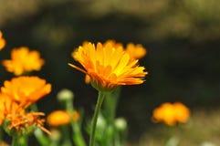 Blume - Calendula Botanisch, mit Blumen lizenzfreie stockfotos