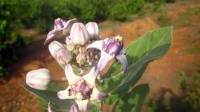 Blume Calotropis Akwan mit Oberfläche im Hintergrund Lizenzfreie Stockbilder