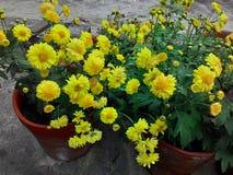 Blume chandramallika stockbilder