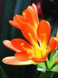 Blume, Clivia Lizenzfreie Stockfotografie
